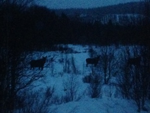 The elk that I saw